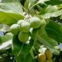 Tamanu Oil - Organic, Unrefined