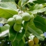 Tamanu Oil - Organic, Unrefined